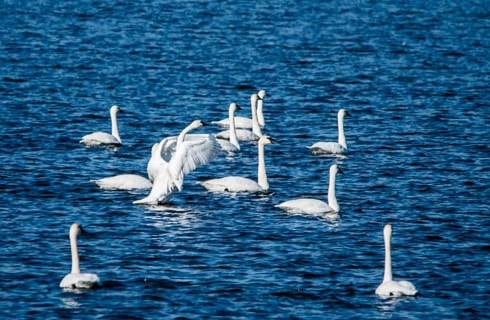 White swans on blue water