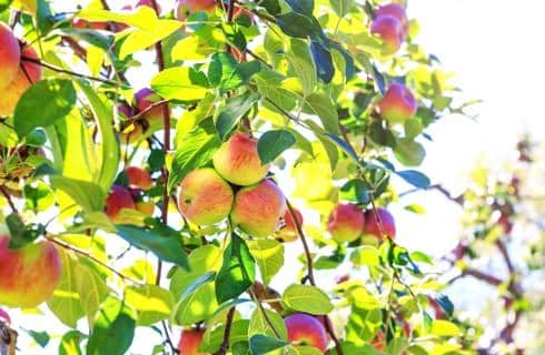 Peaches colored pink and yellow hanging from branches