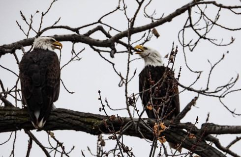 Two bald eagles sitting in tree